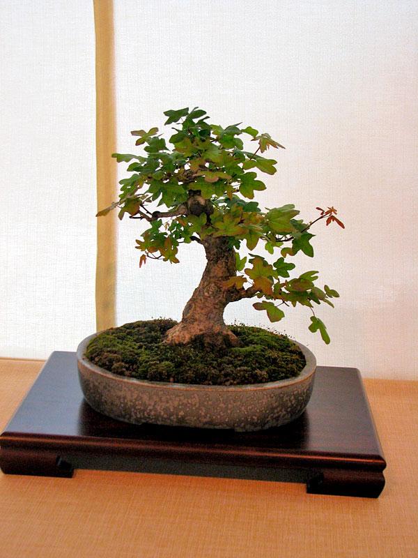 DONZAC (82) 19 et 20 mai 2012 exposition regionale de bonsai Img_0049