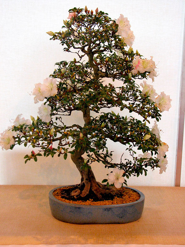 DONZAC (82) 19 et 20 mai 2012 exposition regionale de bonsai Img_0050