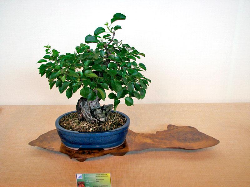 DONZAC (82) 19 et 20 mai 2012 exposition regionale de bonsai Img_0052
