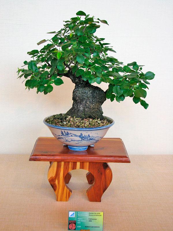 DONZAC (82) 19 et 20 mai 2012 exposition regionale de bonsai Img_0053