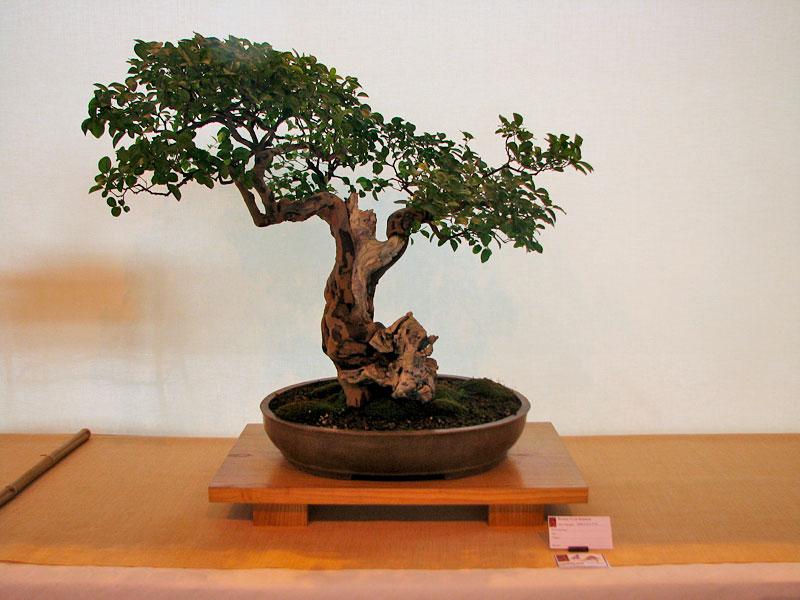 DONZAC (82) 19 et 20 mai 2012 exposition regionale de bonsai Img_0054