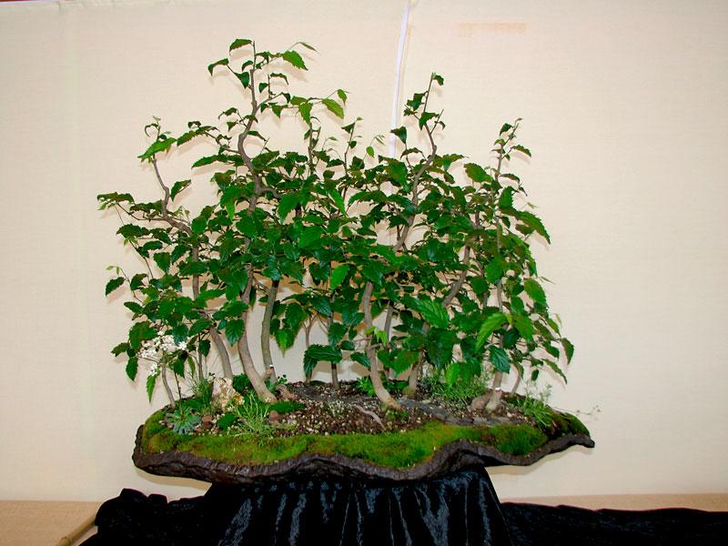 DONZAC (82) 19 et 20 mai 2012 exposition regionale de bonsai Img_0057