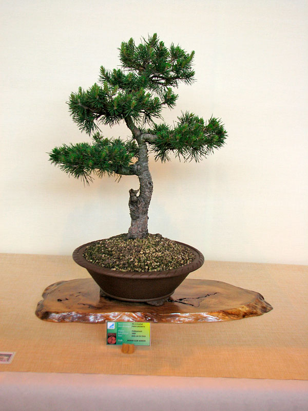 DONZAC (82) 19 et 20 mai 2012 exposition regionale de bonsai Img_0058