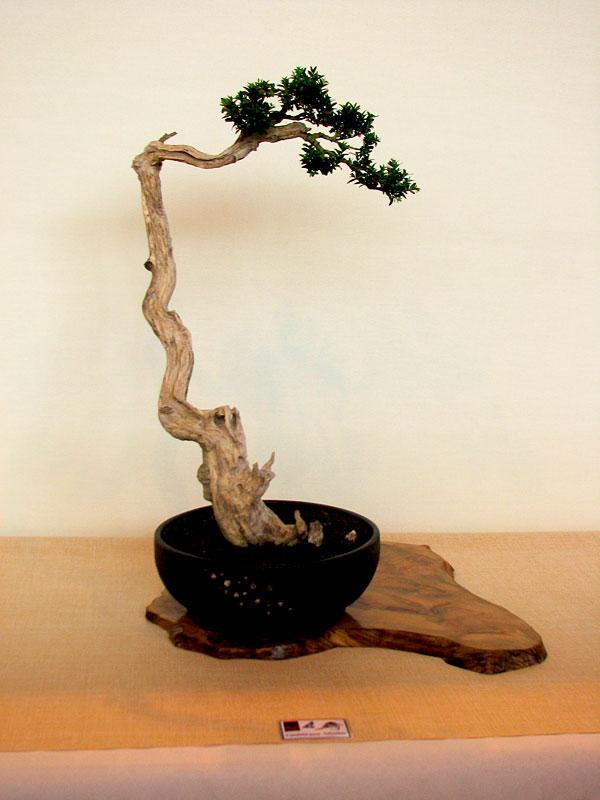 DONZAC (82) 19 et 20 mai 2012 exposition regionale de bonsai Img_0059
