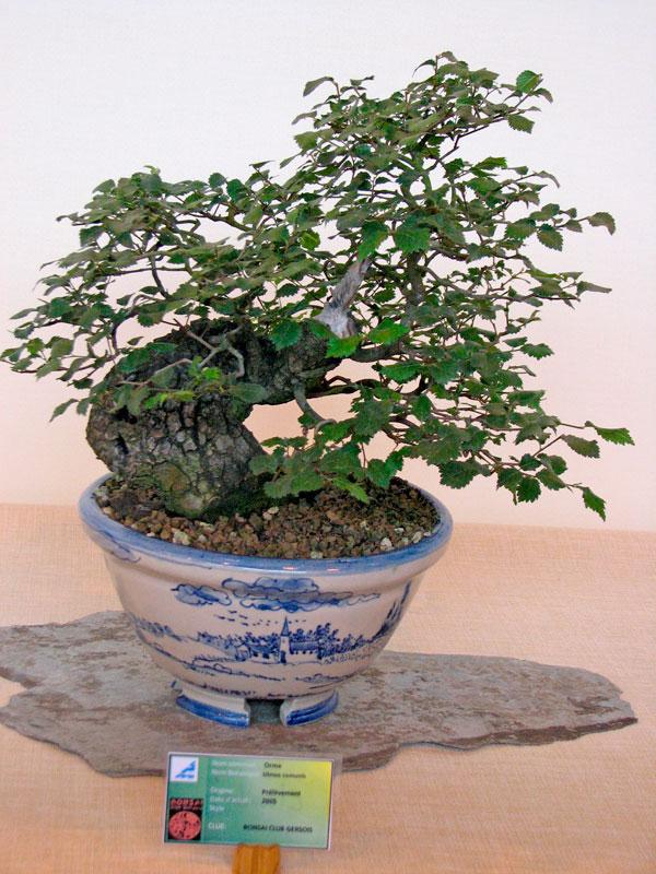 DONZAC (82) 19 et 20 mai 2012 exposition regionale de bonsai Img_0061