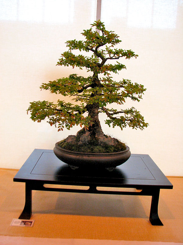DONZAC (82) 19 et 20 mai 2012 exposition regionale de bonsai Img_0065