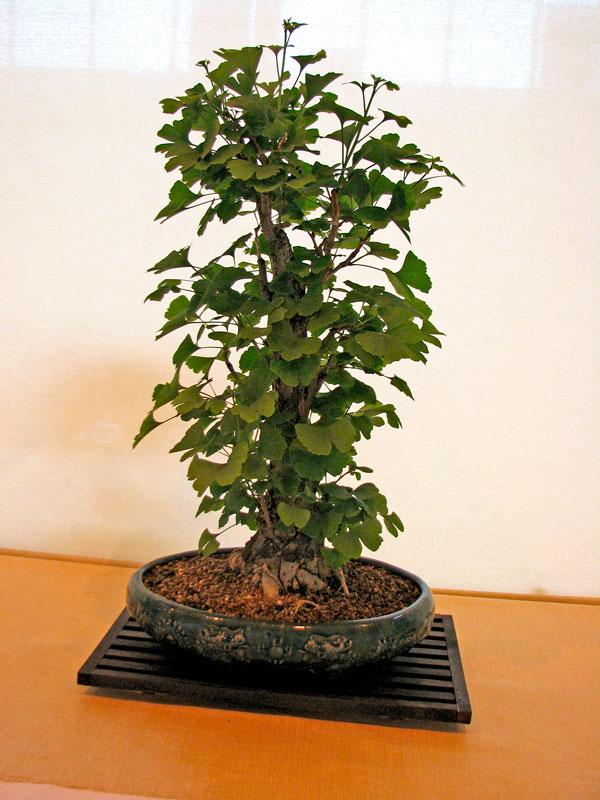 DONZAC (82) 19 et 20 mai 2012 exposition regionale de bonsai Img_0066