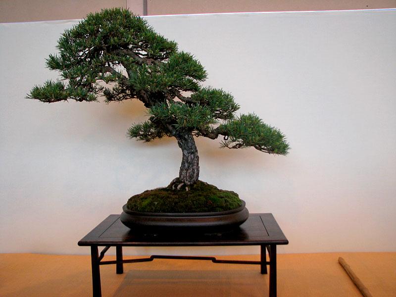 DONZAC (82) 19 et 20 mai 2012 exposition regionale de bonsai Img_0068
