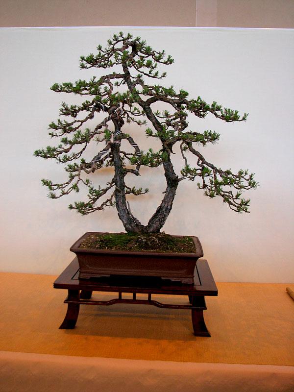 DONZAC (82) 19 et 20 mai 2012 exposition regionale de bonsai Img_0070