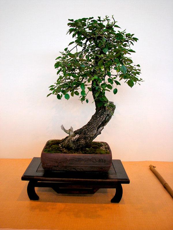 DONZAC (82) 19 et 20 mai 2012 exposition regionale de bonsai Img_0071