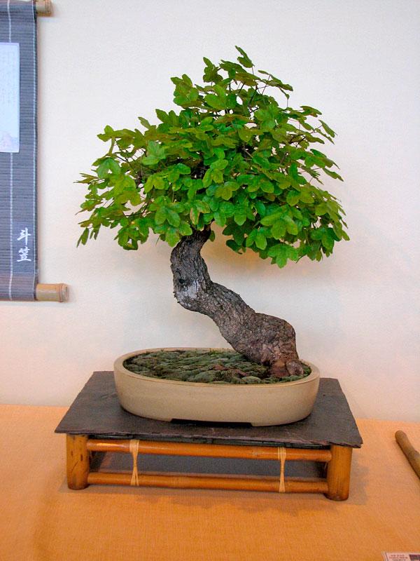 DONZAC (82) 19 et 20 mai 2012 exposition regionale de bonsai Img_0075