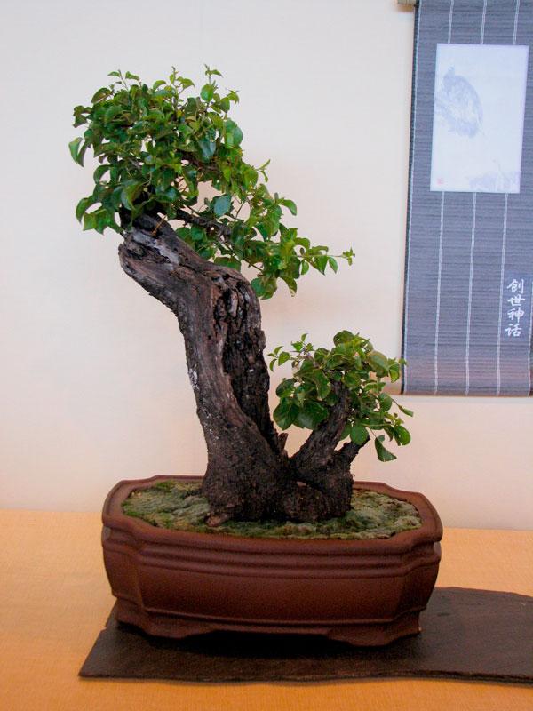 DONZAC (82) 19 et 20 mai 2012 exposition regionale de bonsai Img_0076