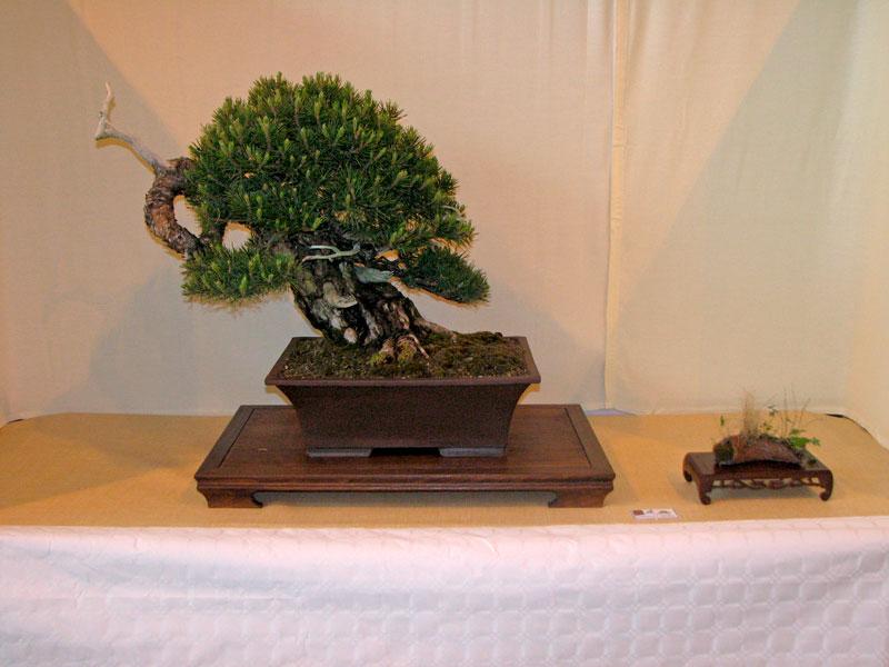 DONZAC (82) 19 et 20 mai 2012 exposition regionale de bonsai Img_0081