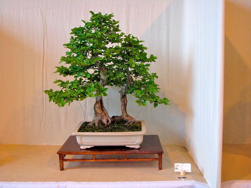 DONZAC (82) 19 et 20 mai 2012 exposition regionale de bonsai Img_0082