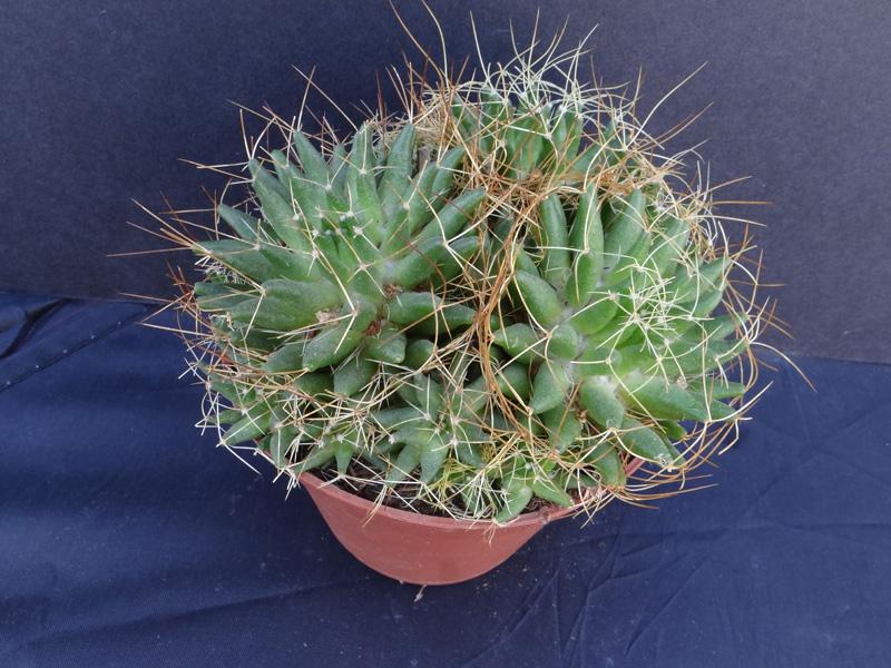 Three Mammillarias that need identification Dsc00510