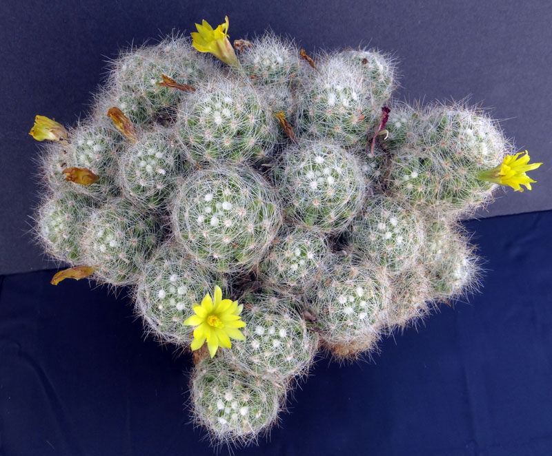 Another mammillaria for it. Dsc02010