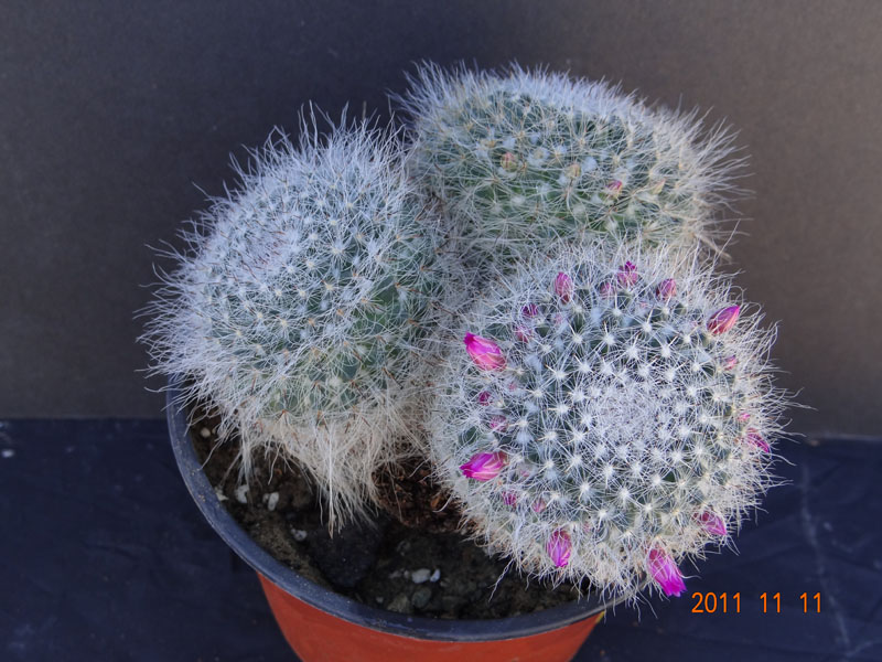 Need an Id for this Mammillaria Mammil15