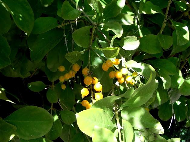 Les baies en automne (plantes sauvages ou cultivées) - Page 2 A_iden10
