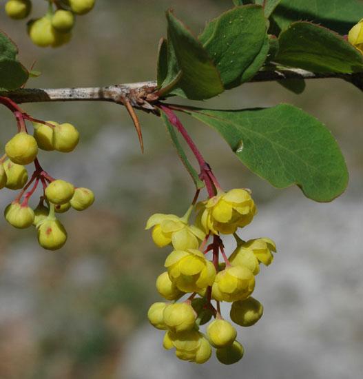 Les baies en automne (plantes sauvages ou cultivées) Epinev10