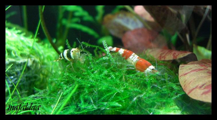 Mes crevettes adorées (vos avis sont les bienvenus) - Page 2 2012-017