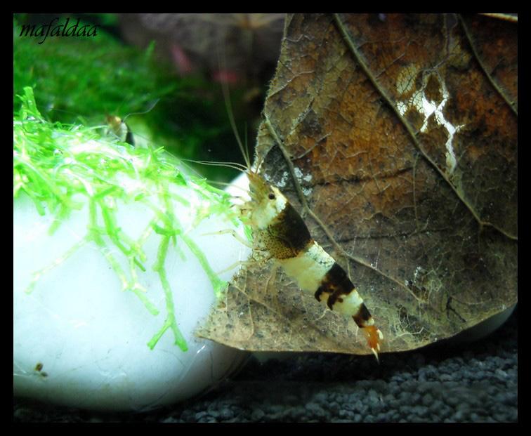 Mes crevettes adorées (vos avis sont les bienvenus) - Page 2 2012-019