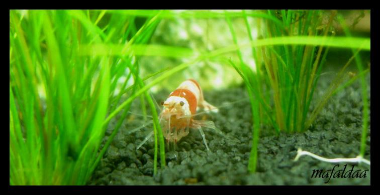 Mes crevettes adorées (vos avis sont les bienvenus) - Page 2 2012-020
