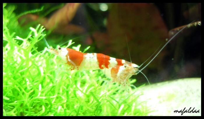 Mes crevettes adorées (vos avis sont les bienvenus) - Page 2 2012-038