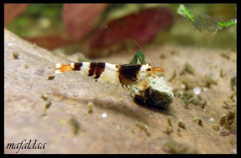 Mes crevettes adorées (vos avis sont les bienvenus) - Page 2 Cbs_1110