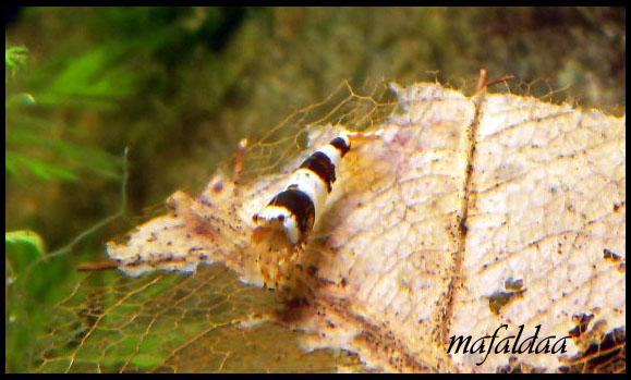 Mes crevettes adorées (vos avis sont les bienvenus) - Page 2 Cbs_1310