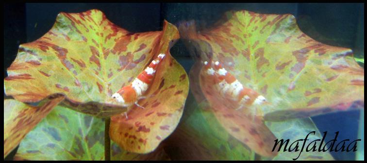 Mes crevettes adorées (vos avis sont les bienvenus) - Page 2 Crs_0110