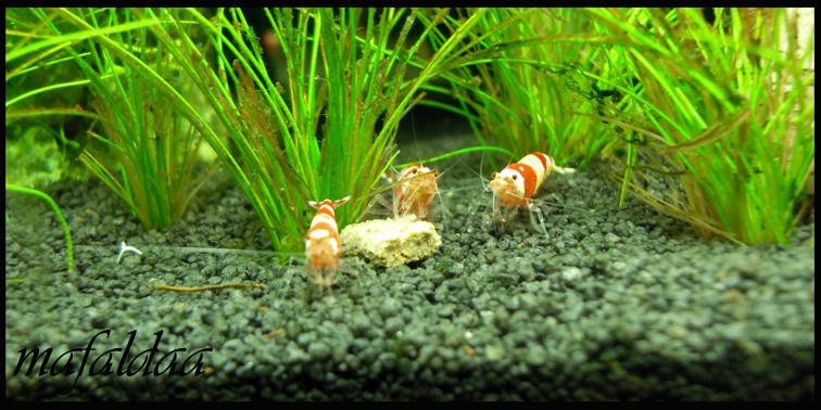 Mes crevettes adorées (vos avis sont les bienvenus) - Page 2 Crs_0210
