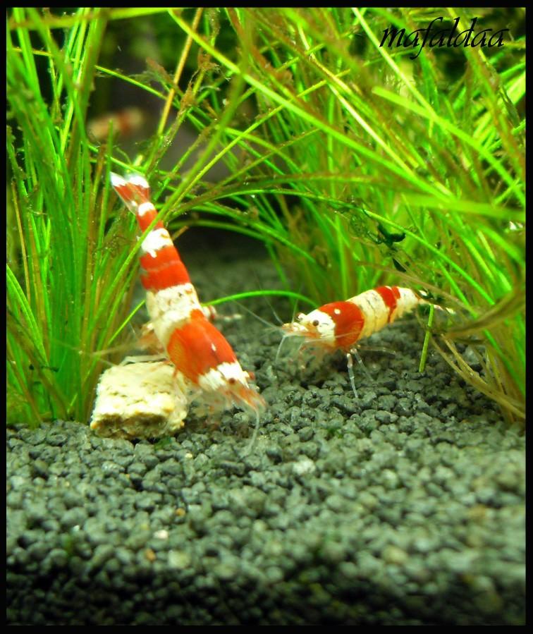 Mes crevettes adorées (vos avis sont les bienvenus) - Page 2 Crs_0211