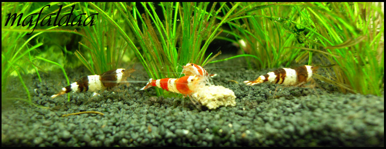 Mes crevettes adorées (vos avis sont les bienvenus) - Page 2 Crs__c10