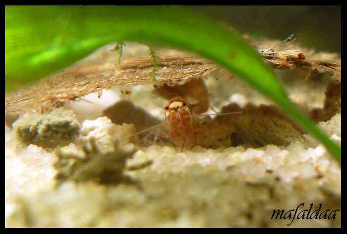 Mes crevettes adorées (vos avis sont les bienvenus) - Page 2 Crs_bi10