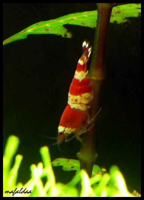 Mes crevettes adorées (vos avis sont les bienvenus) - Page 2 Crs_gr10