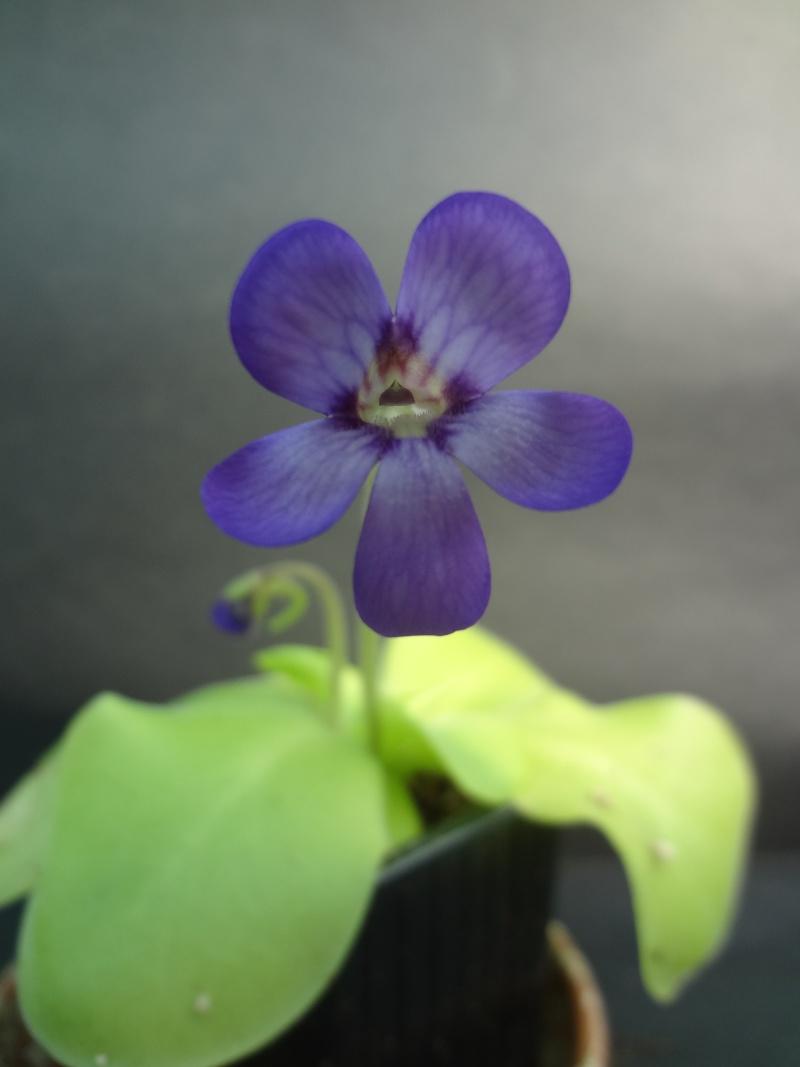 Votre substrat pour Grassette tempérée Fleur_10
