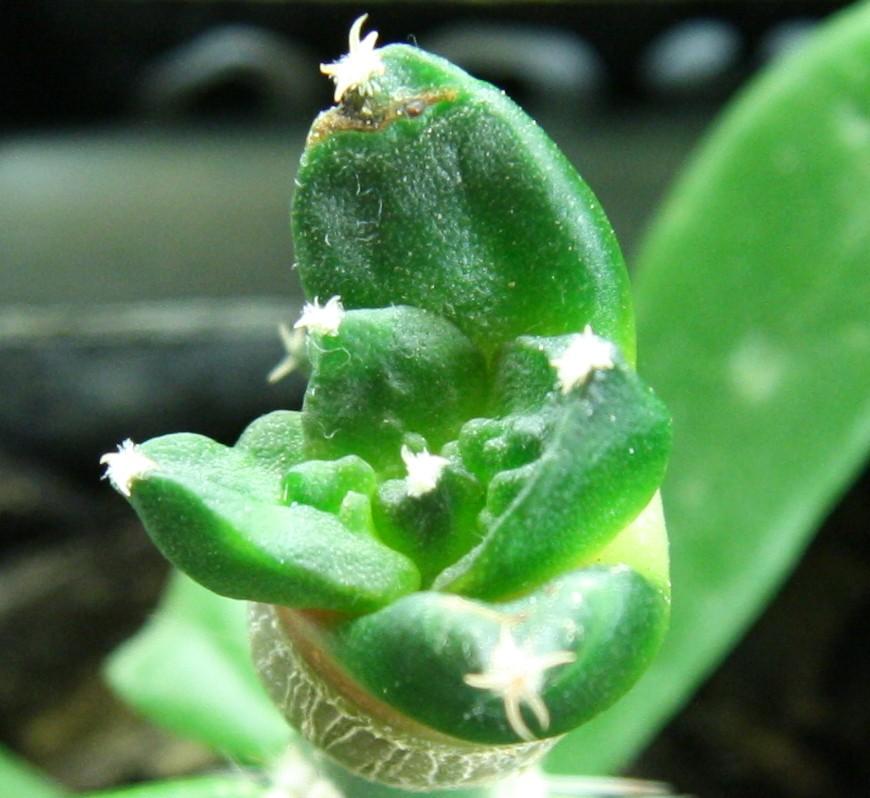 Mystery Ariocarpus Arioca11