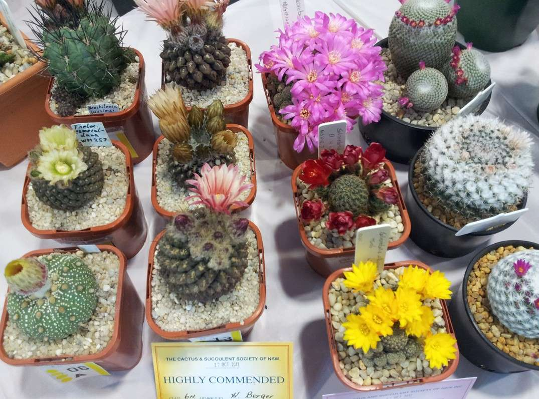 New South Wales Cacti & Succulent Spring Show Flower12