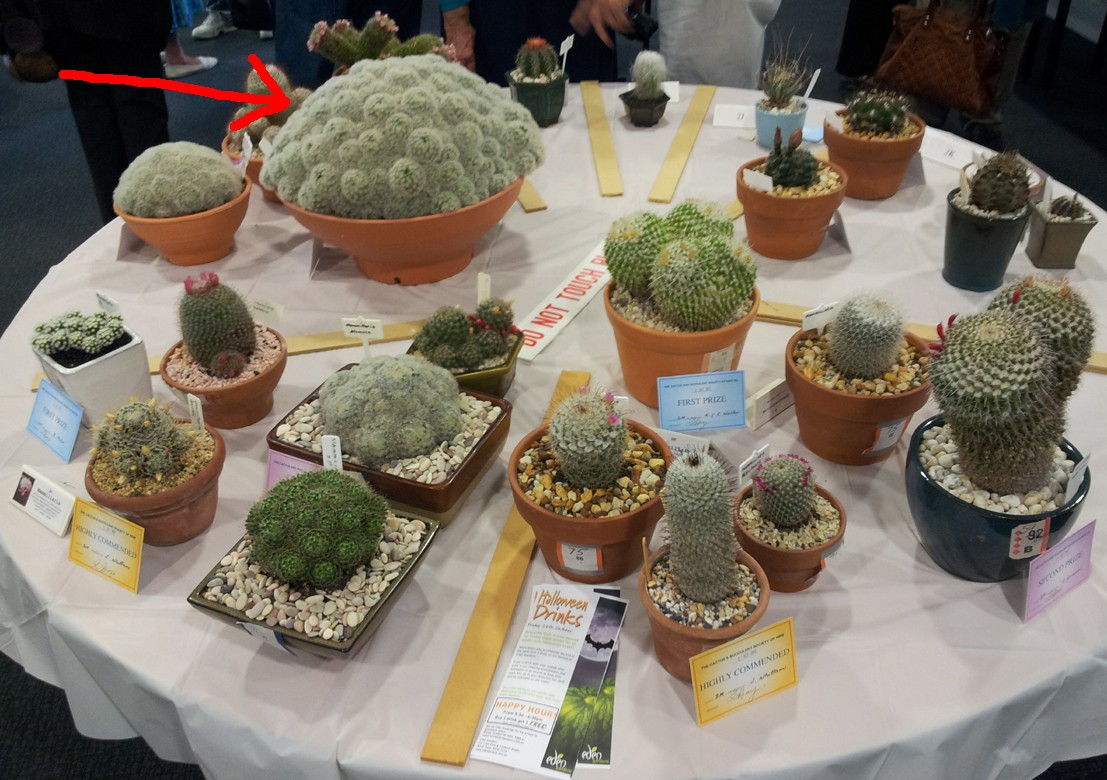 New South Wales Cacti & Succulent Spring Show Mammil10