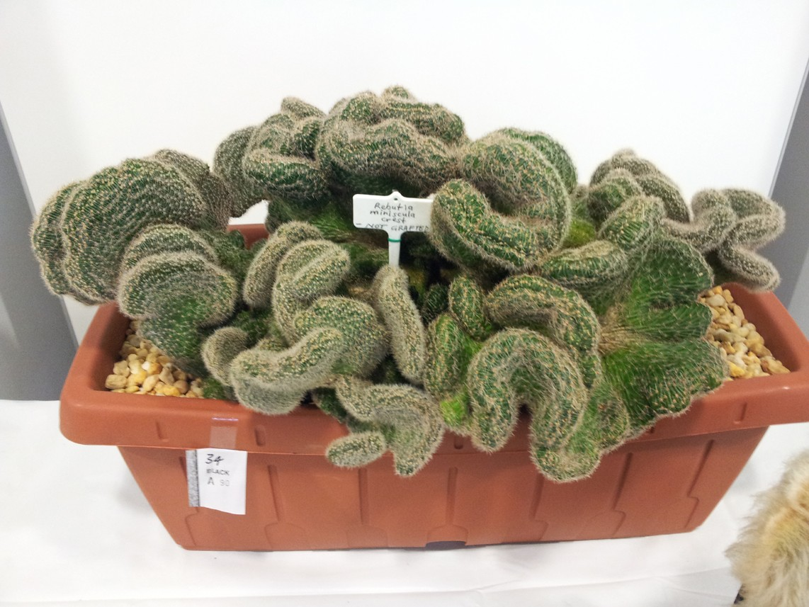 New South Wales Cacti & Succulent Spring Show Massiv10