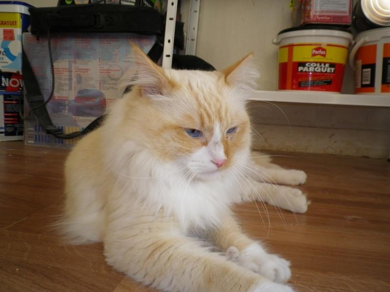 Fuego, mâle à poils longs roux et blanc né en 2010 Imgp1018