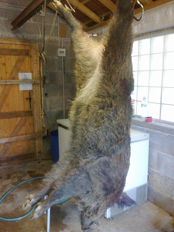 Ma premiere année de chasse et mon premier tire !!! sanglier 30102012