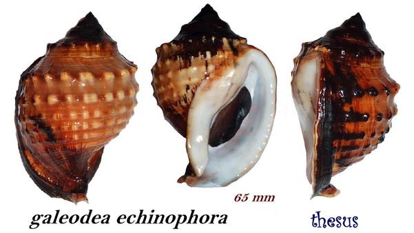 Galeodea echinophora - (Linnaeus, 1758) - Senestre Aaaaa10