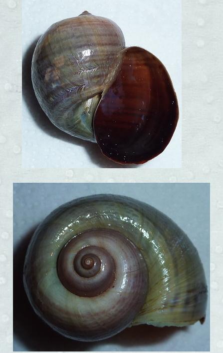Pomacea canaliculata - (Lamarck, 1822) Aaaaaa10