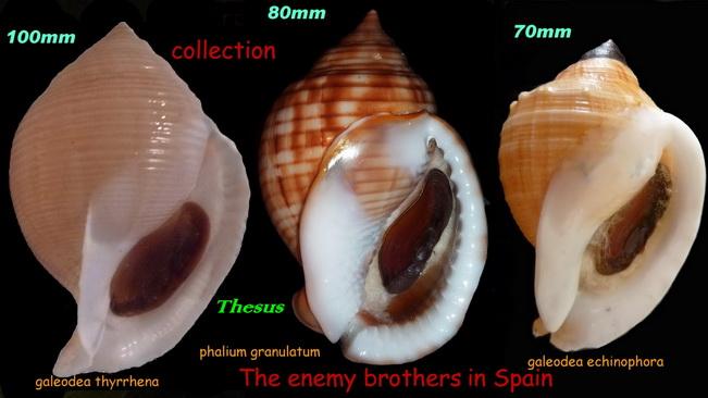 Galeodea echinophora - (Linnaeus, 1758) Aaaaaa14
