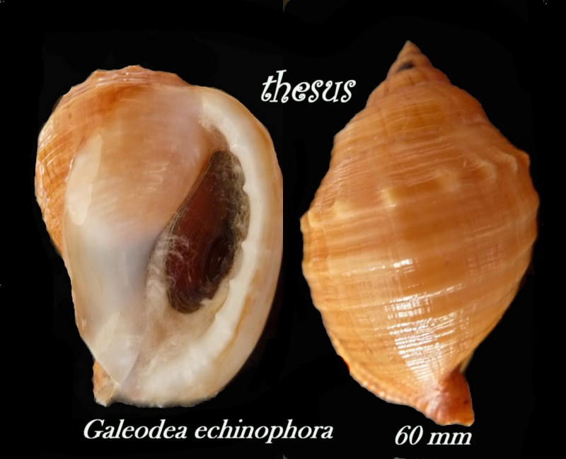 Galeodea echinophora - (Linnaeus, 1758) - Senestre Aaan10
