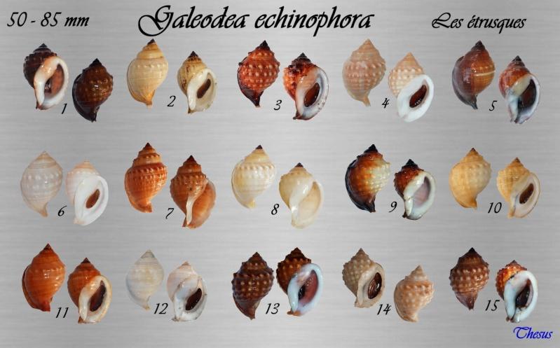 Galeodea echinophora - (Linnaeus, 1758) Cassi_10