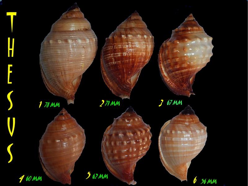 Galeodea echinophora - (Linnaeus, 1758) Def110
