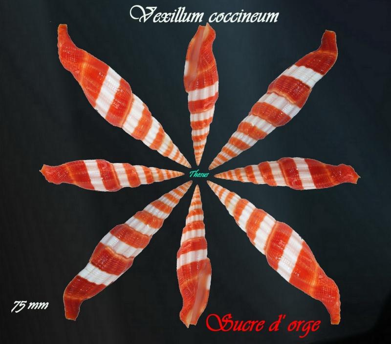 Vexillum coccineum - (Reeve, 1844) Mitre_10