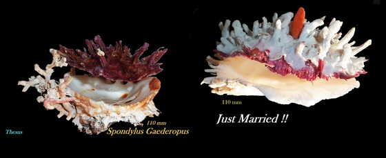 Spondylus gaederopus - Linnaeus, 1758 Xcb10